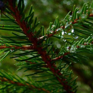 Evergreen Wax Melts
